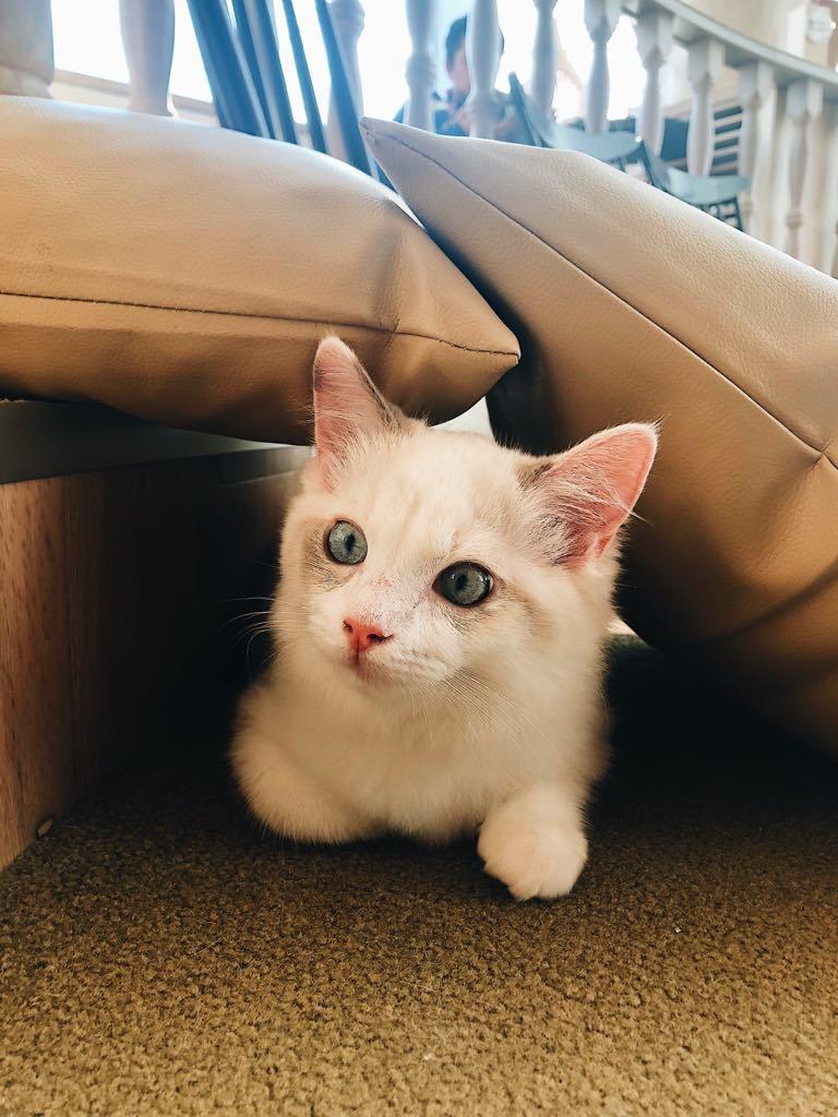 white cat MoCHA cat cafe Harajuku