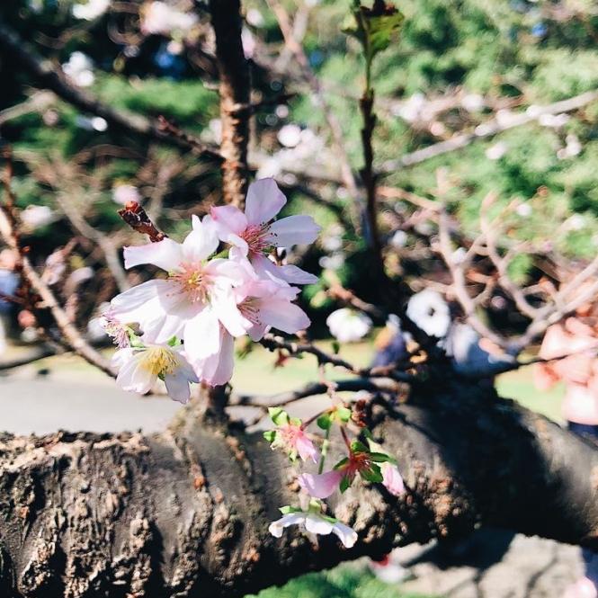 autumn sakura shinjuku gyoen national garden tokyo