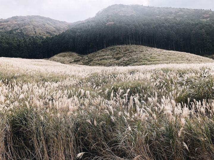 sengokuhara-pampas-grass-field-view